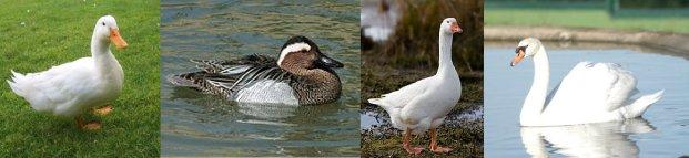 El Cuarteto: Pato, Marreco (Cerceta), Ganso y Cisne