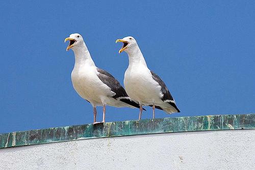 Gaviotas cantando